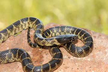 This desert kingsnake was photographed in southern Arizona.