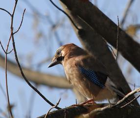 Garrulus glandarius - bird