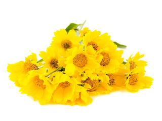Yellow wild sunflowers isolated on white background.