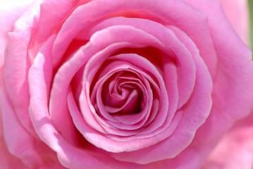 close up, flower of  pink rose
