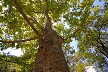 green plane-tree tree in park, summer