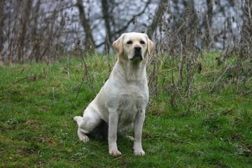 Labrador blanc assis dans l'herbe