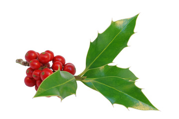 Holly with fruit isolated on white with clipping path