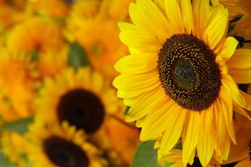 Printed roller blinds Sunflower Close-up of sunflowers - decorative arrangement