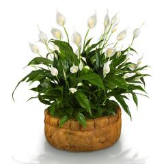 Fototapeta Spathiphyllum obraz