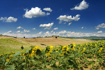 Chianti summer landscape with sunflowers and blue cloudy sky