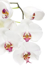 White orchid on a white background.