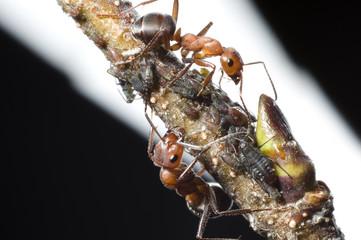 Intensivbetreuung der Ameisen mit Blattläusen