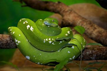 grüner Baumpython