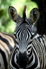 Wall Murals Zebra wild animal