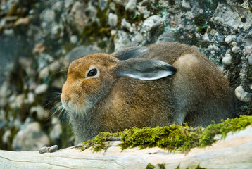 Sitting mountain hare (lat. lepus timidus)