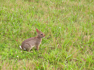 A wild bunny rabbit grazing in the grass