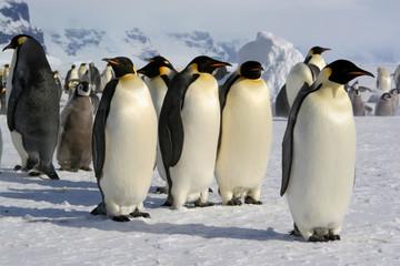 Tuinposter Pinguin Emperor penguin - Coulmann Island (Antarctic)