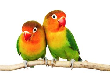 Obraz Para papużek nierozłączek - fototapety do salonu
