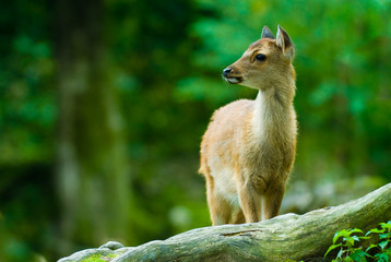young sika deer fawn standing in the woods (lat. Cervus nippon)