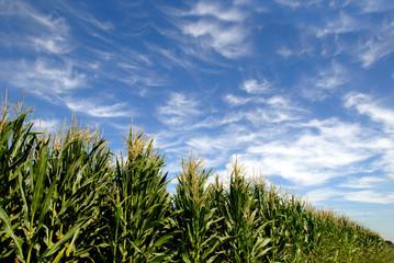 Rows of Green Corn under Summer Skies