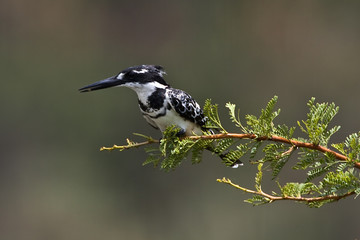 Pied kingfisher on camelthorn tree branch