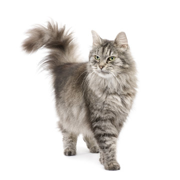 Crossbreed Siberian cat in front of a white background