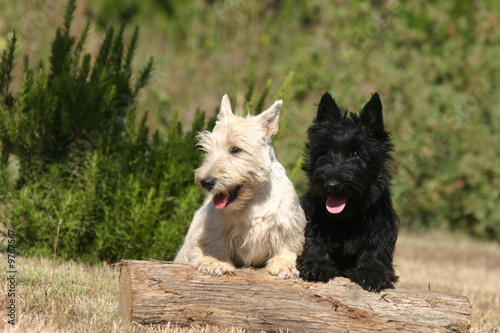 scottish terrier noir et scottish terrier sable au jardin photo libre de droits sur la banque. Black Bedroom Furniture Sets. Home Design Ideas