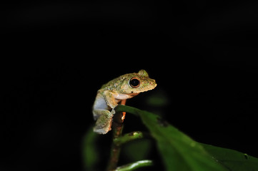Frog in tree at night