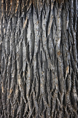 texture of a giant cottonwood tree trunk