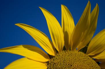 yellow sunflower. Close-up