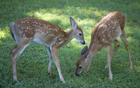 a pair of whitetail fawns with early morning food