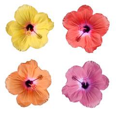 Hibiscus 4 couleurs sur fond blanc