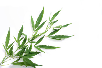 leafs of marijuana on the white background