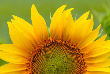 sunflower on  background of  green field