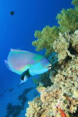 Red  Sea Steephead Parrotfish