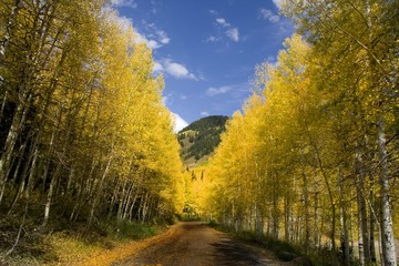 Mountain Road in the Fall lined with Aspen Trees