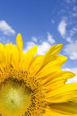 close-up of a sun-flower, blue sky in background