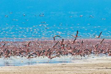 flocks of flamingo, lake nakuru, kenya