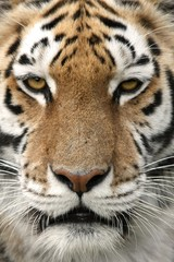 Close up portrait of a strikingly beautiful tiger