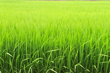 Lush Green Paddy of Basmati Rice