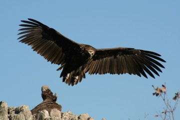 Atterrissage du vautour moie