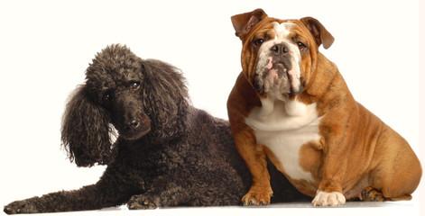 english bulldog and senior black standard poodle