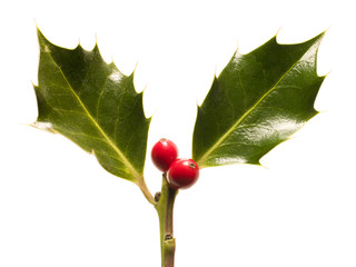 Holly leaves and berries against white background