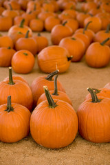 Vertical image of pumpkins in a pumpkin patch.