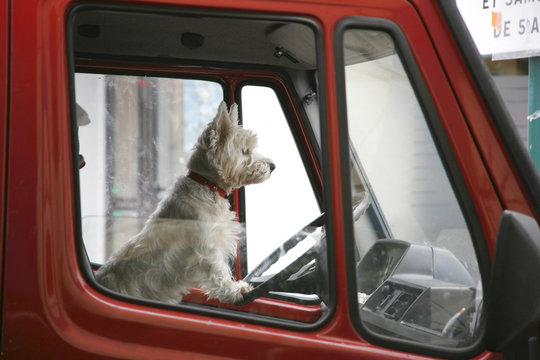 White terrier at the wheel of a red truck