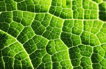 Wall Mural - Green leaf macro texture background, close-up, shallow DOF..