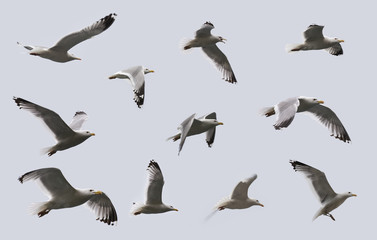 Composite image of some views of a herring gulls in flight