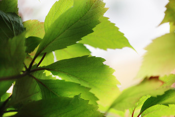 Wall Mural - Beautiful green leaves close-up. Shallow DOF.