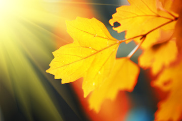 Wall Mural - Beautiful yellow autumn leaves in sunshine. Shallow DOF.