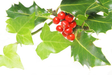 Holly with red berries and ivy leaves