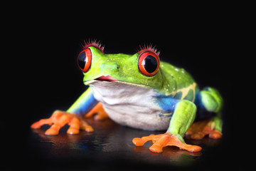 love frog macro - a red-eyed tree frog isolated on black
