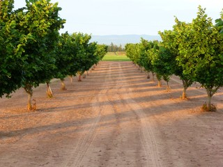 Filbert Orchard Rows