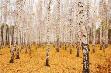 Aluminium Prints Birch Grove an autumn birchwood in October