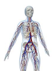 skelett mit cardiovaskulärem system